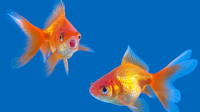 Pesci-rossi