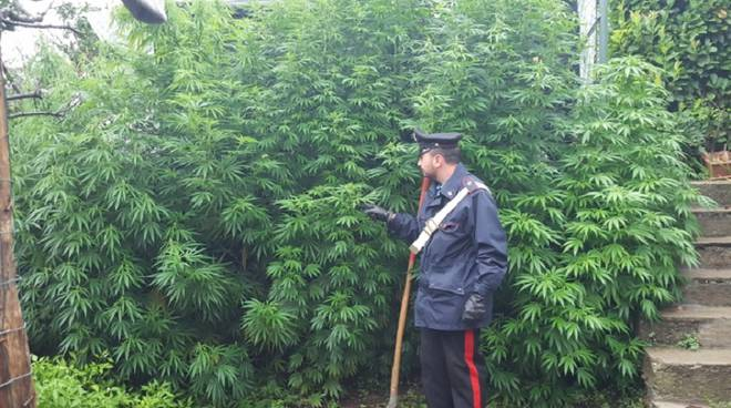 marijuana-25ago15