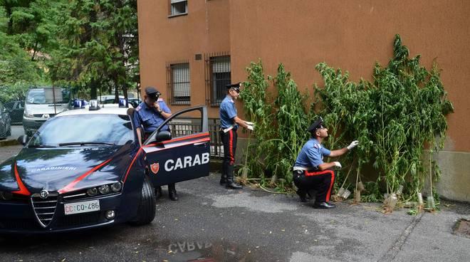 carabinieri e piante canapa