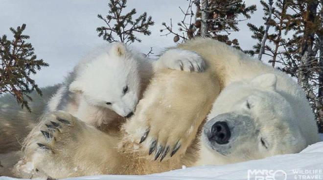 albatros orso polare
