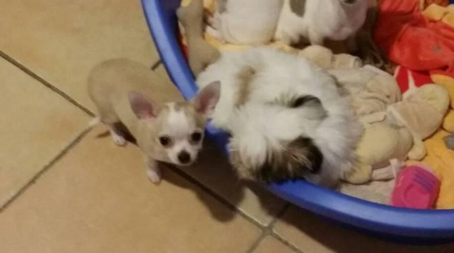 cuccioli casa di silvana olgiate