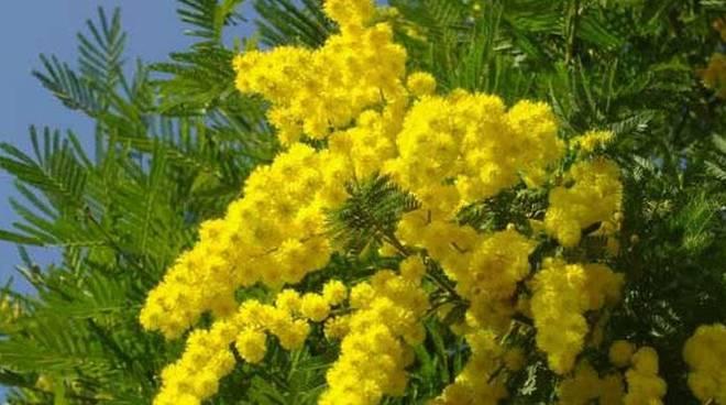 festa-della-donna-mimose