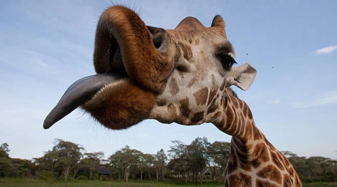 giraffa