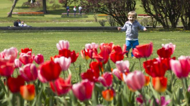 tulipanomania sigurta (2)