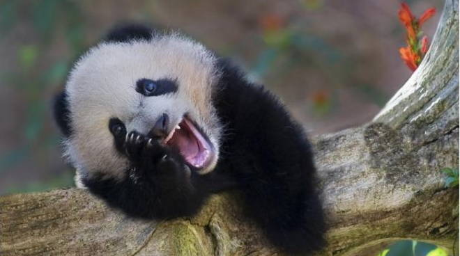 panda-ride