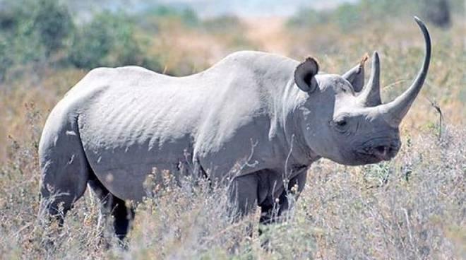 rinoceronte bianco del nord