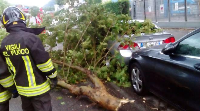 albero caduto como