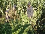 piante di marijuana campo fecchio cantù
