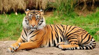 animali tigre