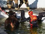 mucca in piscina comignolo