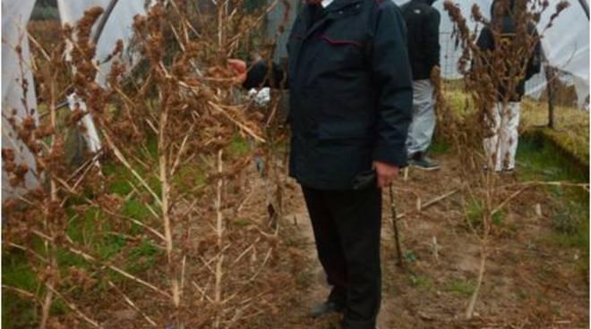 carabinieri e sequestro piante di marijuana anzano del parco