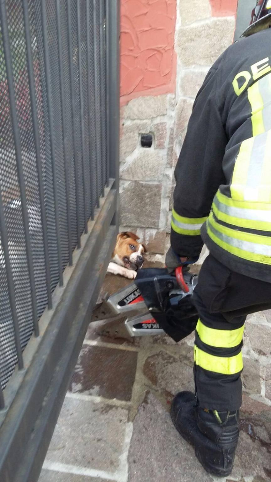 Il cane resta intrappolato dal cancello a Bulgarograsso