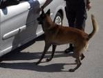sequestro cocaina su auto valico ronago con cane antidroga
