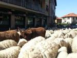 Tavernerio,passano le pecore: tutti fermi in auto
