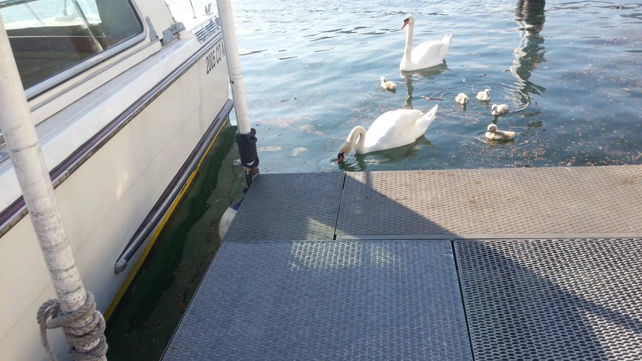 La famiglia di cigni a spasso sul lago di como