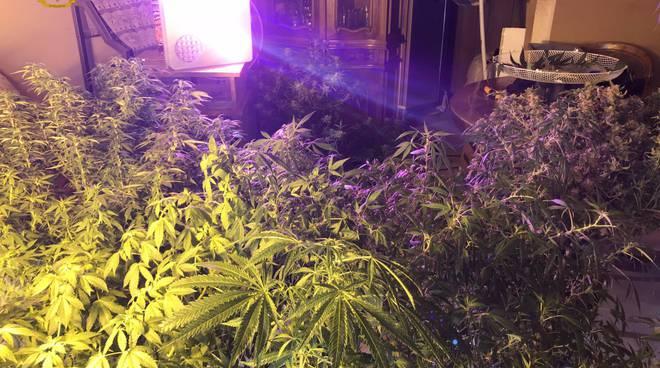 finanza di como scopre piante di marijuana in casa di un comasco