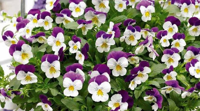 viole