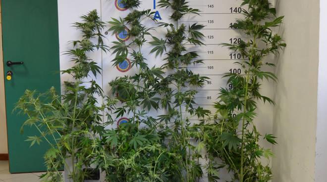 piante di marijuana scoperte da polizia casa di muggiò