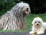 animali cani italiani