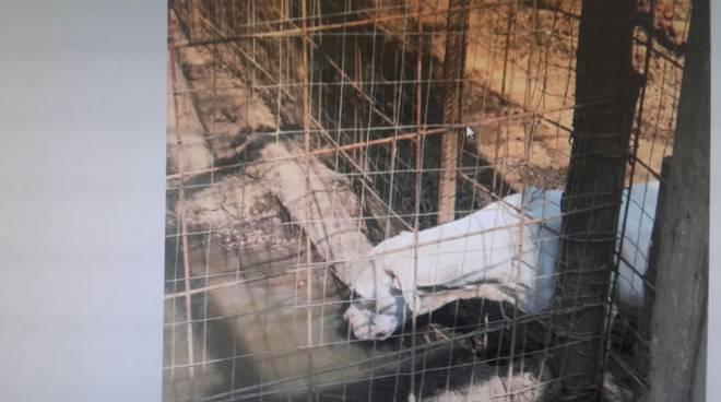 cadorago sequestro area con cani ed animali malnutriti