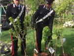 furto piante da frutta campo appiano gentile carabinieri le recuperano