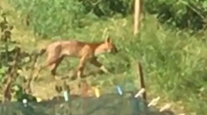 presunto felino avvistato a casnate nei giardini