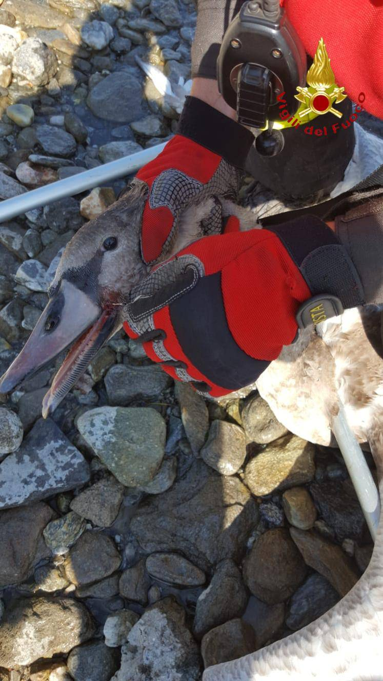 Cigno ferito da un amo nel lago ed appartamento in fiamme: pompieri in azione