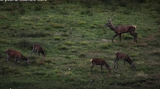 battaglia tra cervi al lago di piano porlezza foto maurizio moro