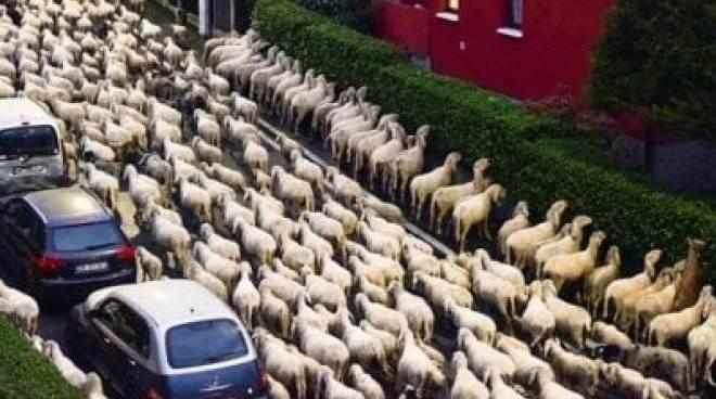 trabsumanza di pecore a lecco mangiano le siepi della strada e bloccano traffico