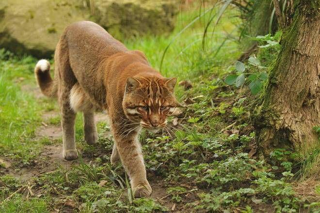 caccia al puma nei boschi dell'olgiatese, l'ironia corre sui social