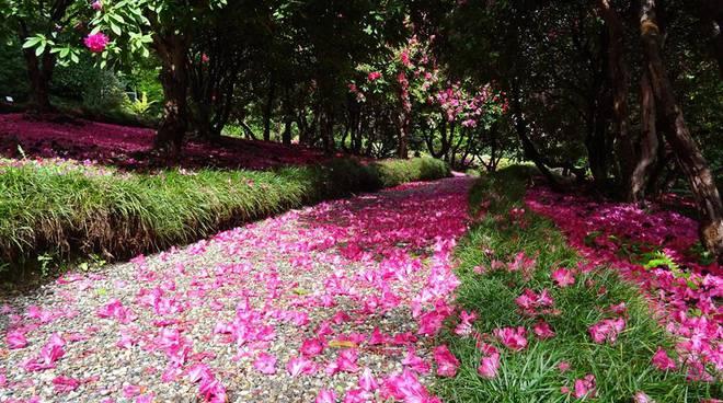 villa carlotta un tappeto di petali di rodedendri nel giardino
