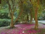 collezione di rododendri a villa carlotta a tremezzo, tappeto nel giardino