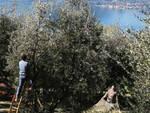 olive lago di como