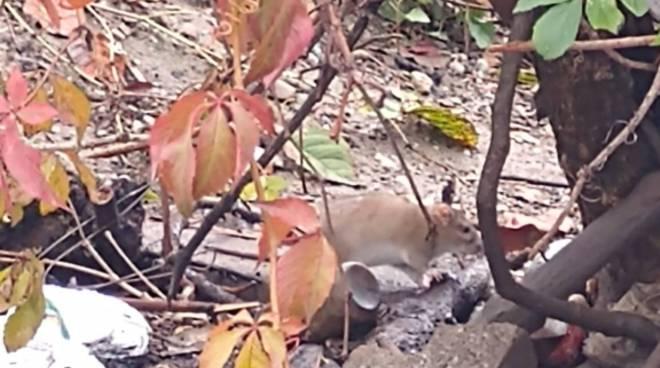 colonia di topi in stazione a grandate segnalazione dei lettori in redazione