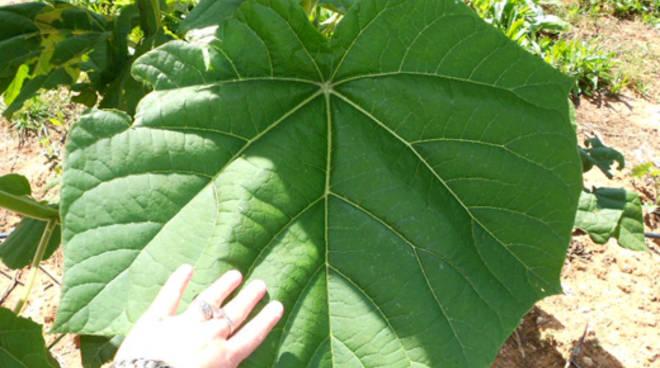 piante di paulownia per combattare lo smog anche nel comasco