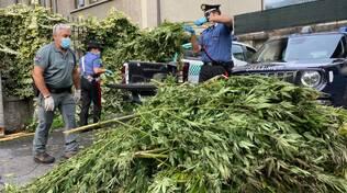 spaccio droga alto lago piante marijuana recupoerate dai carabinieri