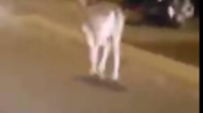 cervo in strada a camnerlata ripreso da nostroi lettore