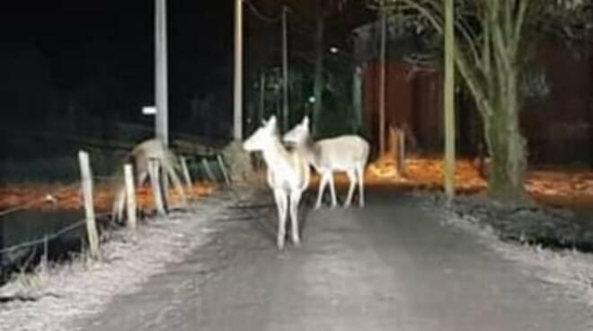 cervi arrivano vicino alle case per mangiare a carlazzo e porlezza immagini lettori