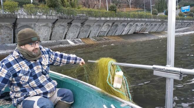 Lavarelli, pesca e spremitura in tremezzina