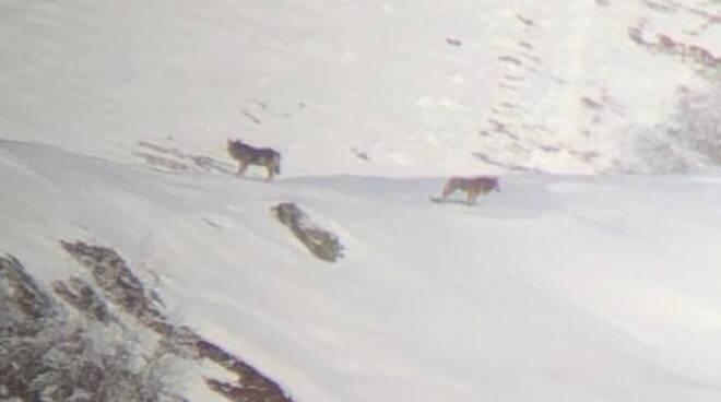 lupi sulla neve sopra garzeno valle di albano
