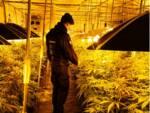 foto piante di canapa indiana scoperta dai carabinieri di Lomazzo magazzino