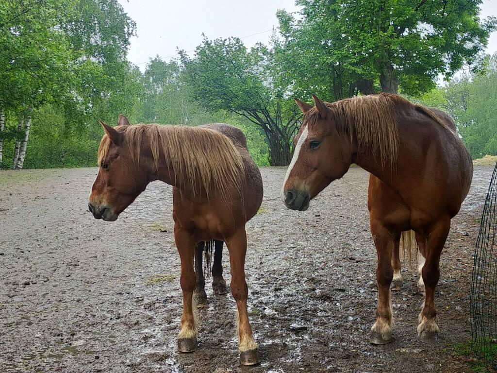 Lanzo Intelvi transumanza cavalli Bisbino