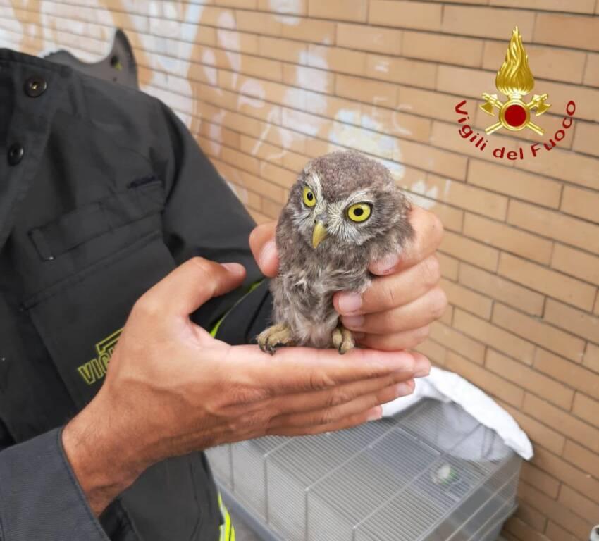 recupero civetta pompieri caduta dal nido a montorfano