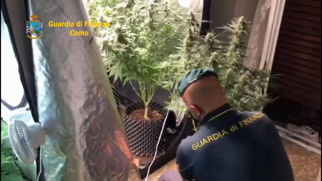 guardia di finanza scoperta serra per produzione droga a lurate caccivio