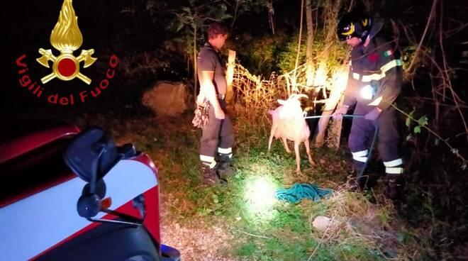 pompieri di canzo liberano capra rimasta bloccata nella staccionata con la testa