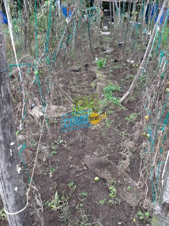 sagnino danni dei cinghiali negli orti della zona la devastazione
